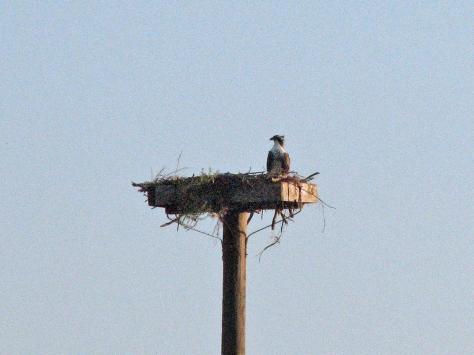papa osprey waiting alone 606