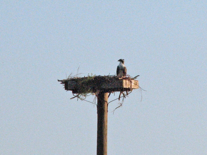 papa osprey waiting alone 606
