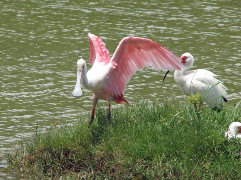 The Spoonbill aired her feathers...