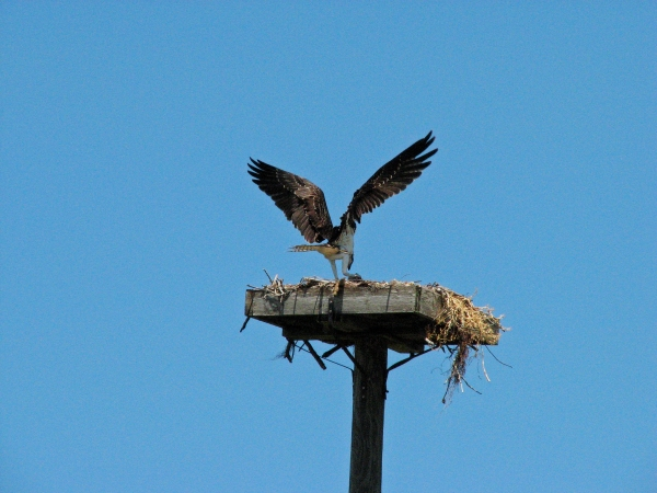 young osprey lands back at the nest