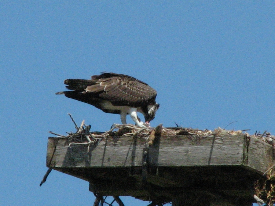 young osprey eating lunch