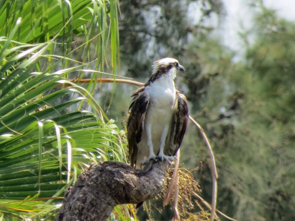 Beautiful adult osprey at the edge of the park