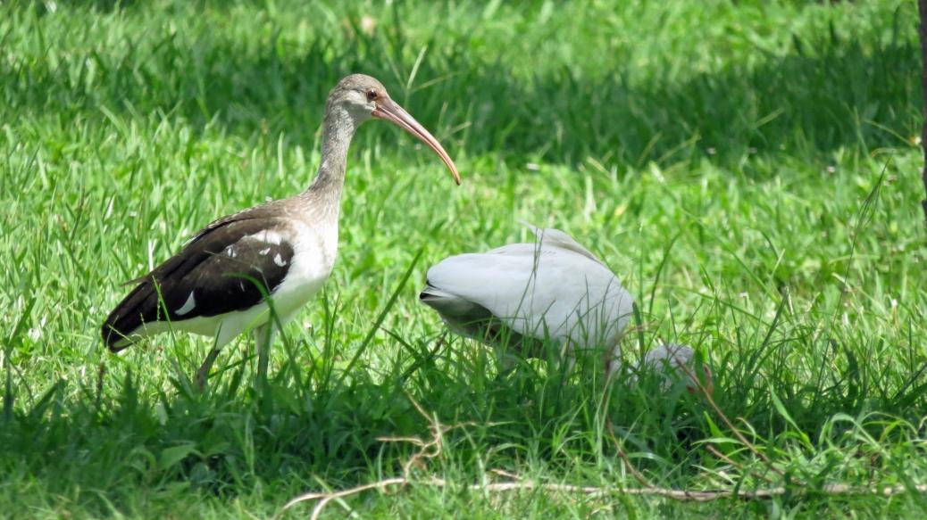 black and white ibis