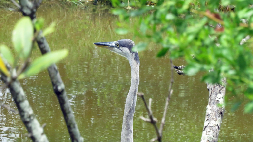 blue heron camouflaged