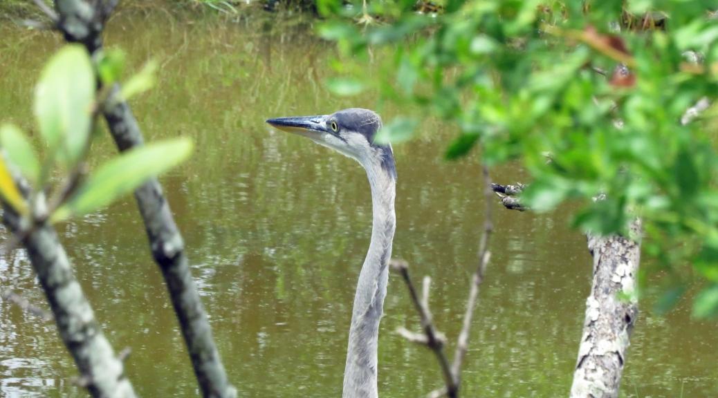 blue heron camouflaged