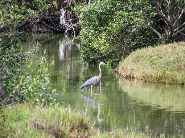 The Great Blue Heron, Mayor of the marsh...
