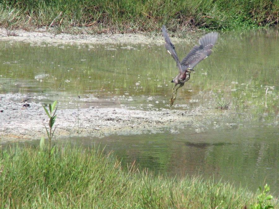 green heron in flight 708
