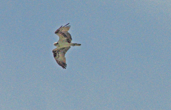 My friend, young osprey flies over the nest