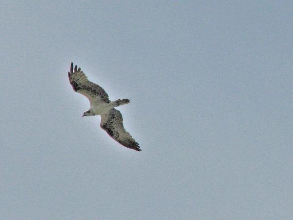juvenile osprey two 708