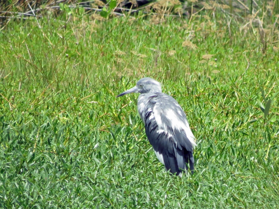 small blue heron immature