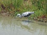 Little Blue Heron Immature