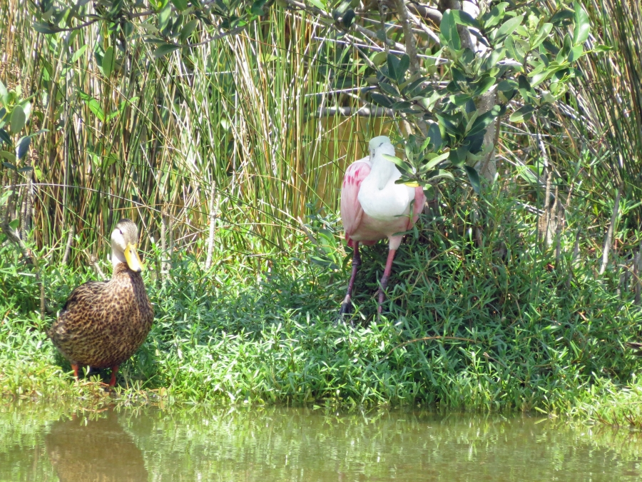 mallard and roseate spoonbill clearwater