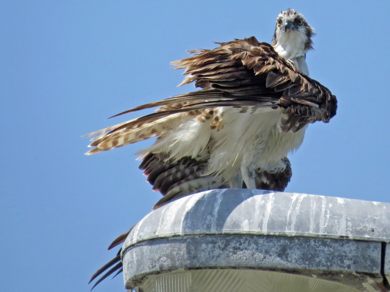 osprey drying himself Sand Key Clearwater