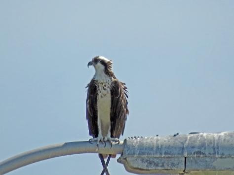 papa osprey 712