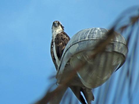Papa osprey checking on Tiny