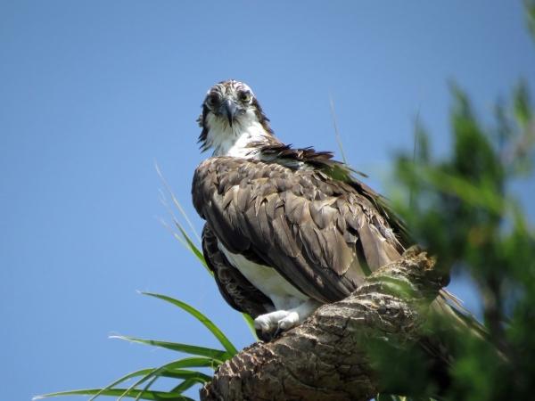 male osprey Sand key Park Clearwater