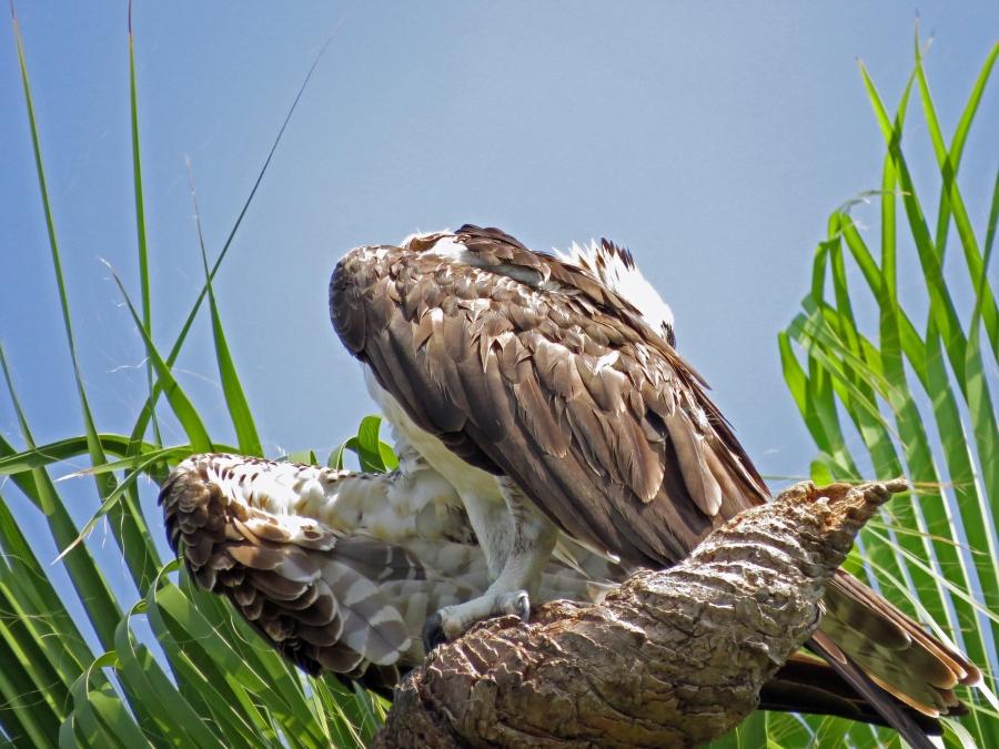 Papa Osprey preening his feathers