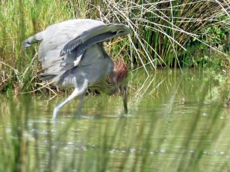 reddish egret fishing 728