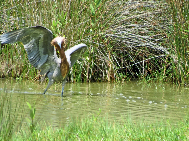 reddish Egret the wild man 728