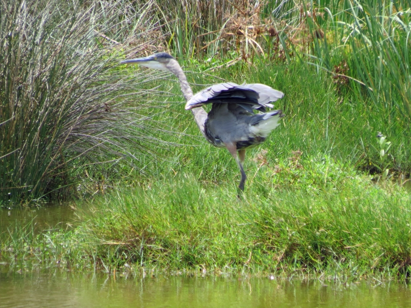 Blue Heron landed safely
