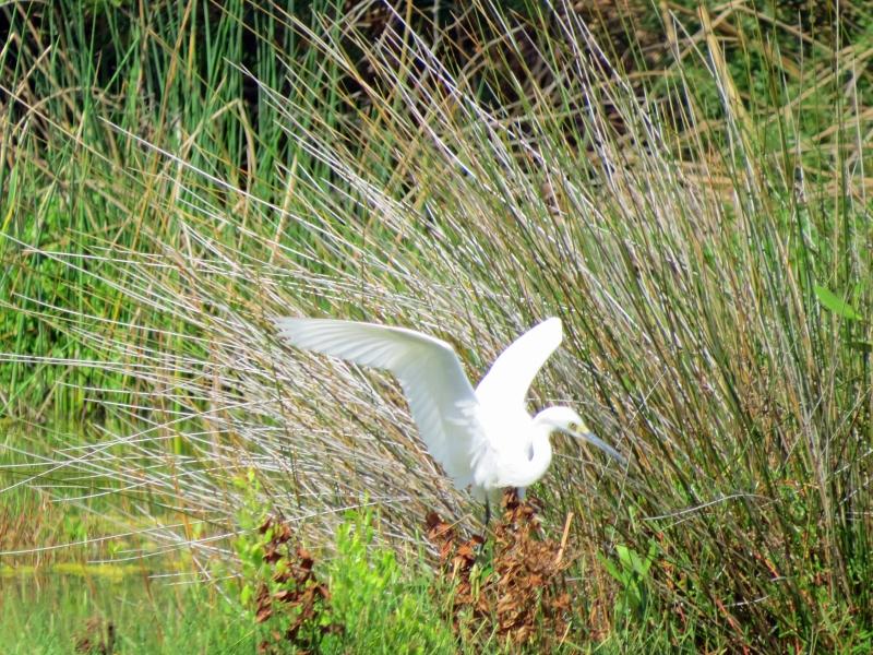 egret landed