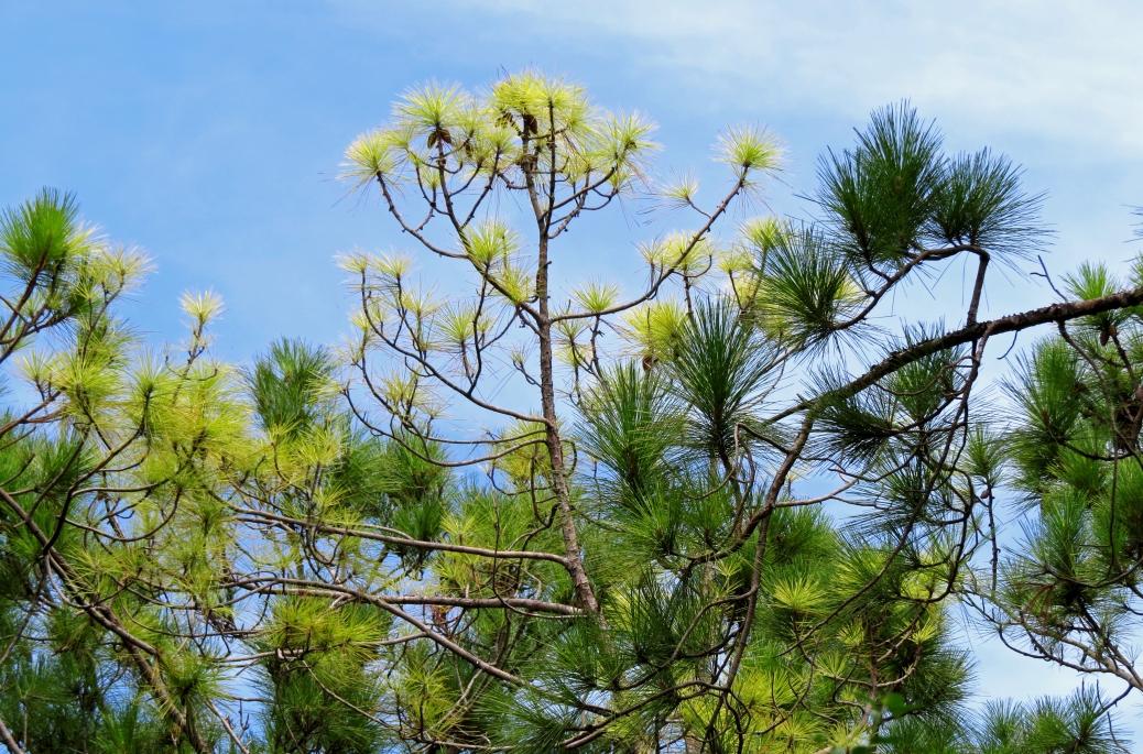 florida pines