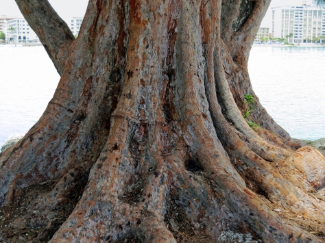giant  tree sand key park