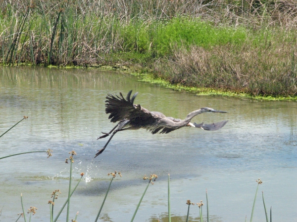 great blue heron bird taking off