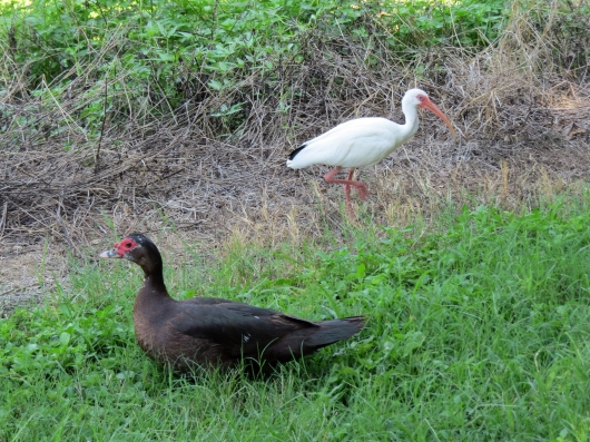 Friendly coexistence with Ibis...