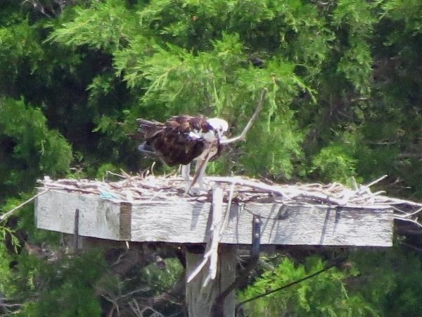 maintenance papa osprey