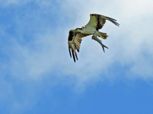 osprey with half fish