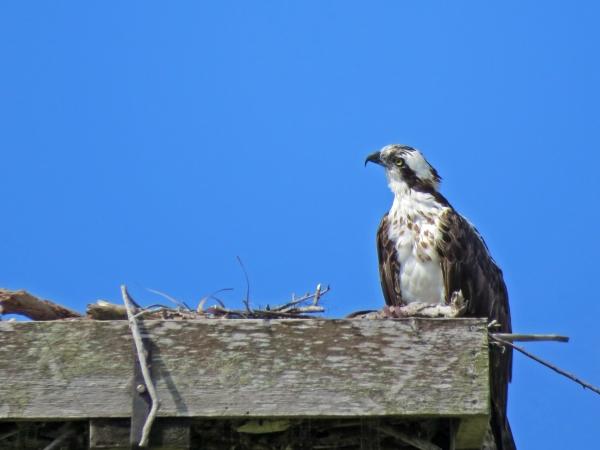 papa osprey alarmed watching the skies