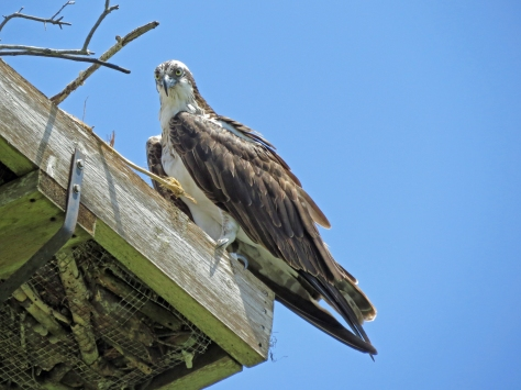papa osprey at the nest 0812 Clearwater, FL