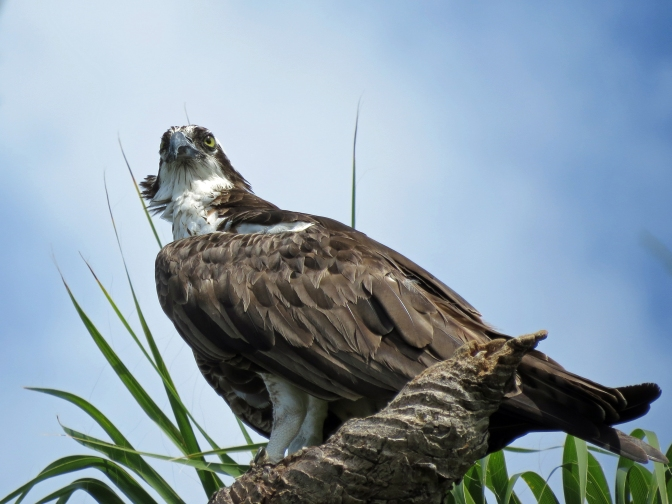 papa osprey b 728