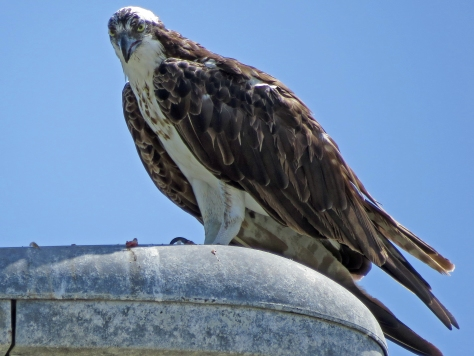osprey finishing his lunch