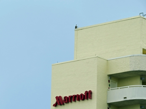 papa osprey has moved to Marriot