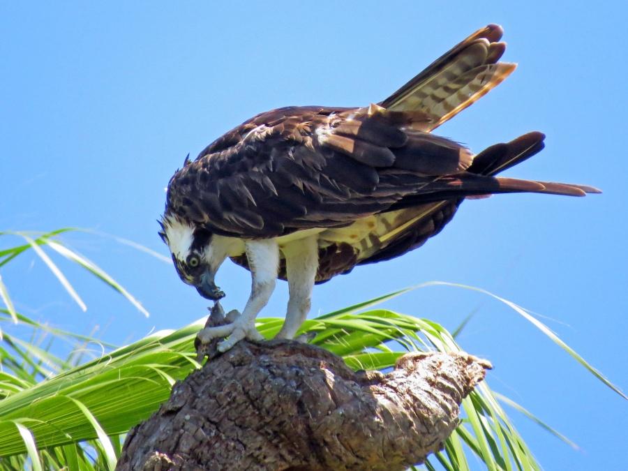 papa osprey having lunch 818
