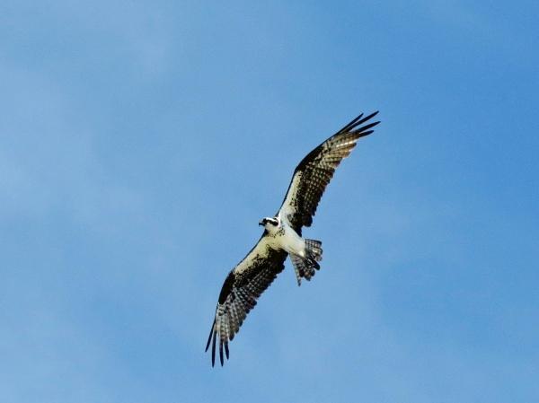 papa osprey in flight 813d