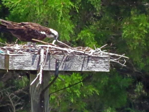 papa osprey lifting sticks