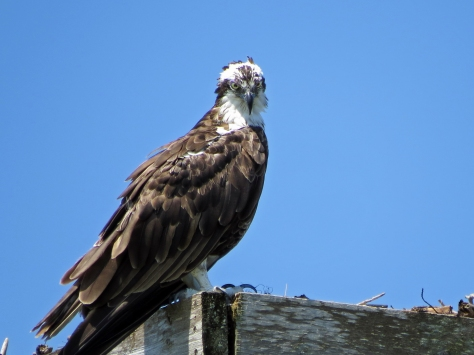 Papa osprey looks at tiny 822