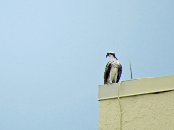 osprey on the roof