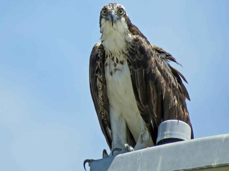 papa osprey saying hi 813 clearwater, FL