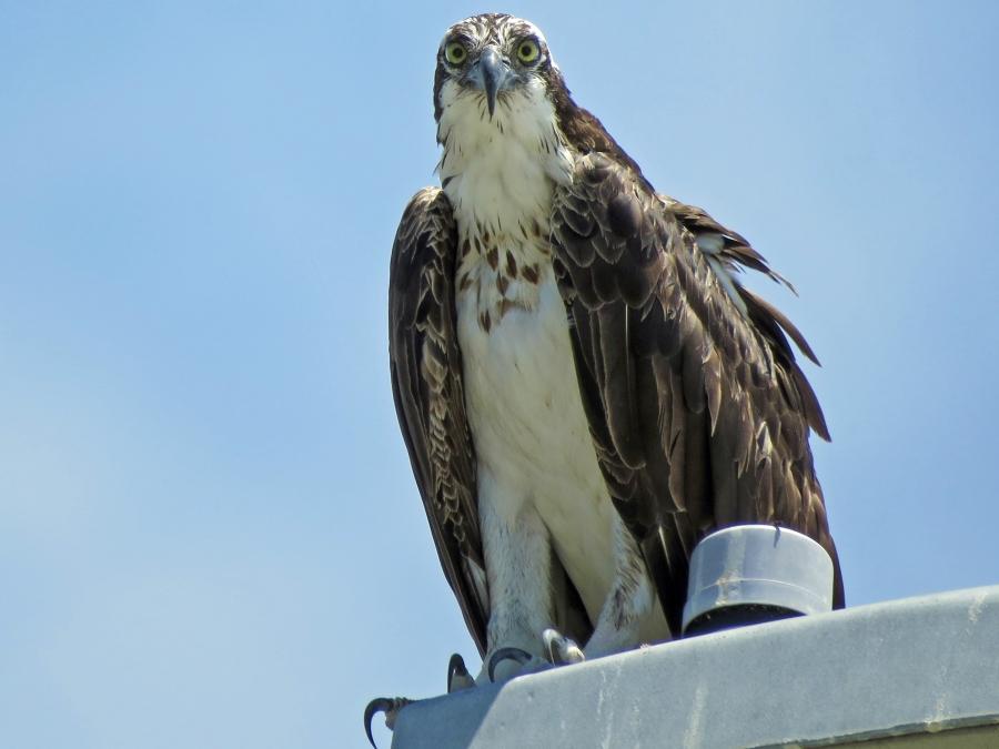 papa osprey saying hi 813 clearwater, FL