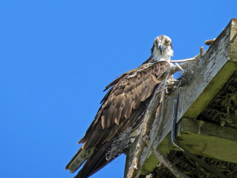 papa osprey says hi 826