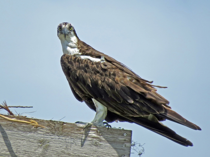 papa osprey visiting the nest 812 clearwater, FL