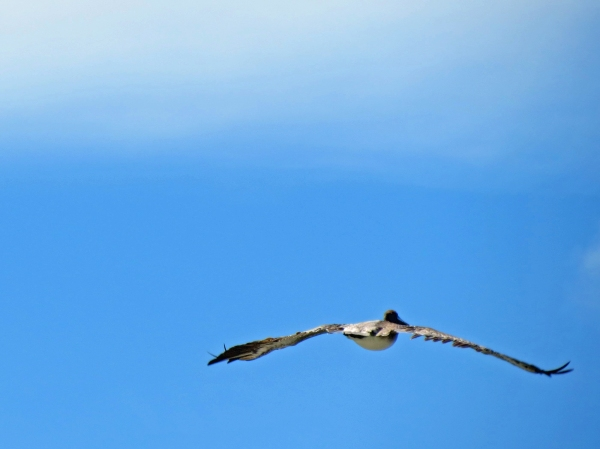 pelicAN IN FLIGHT