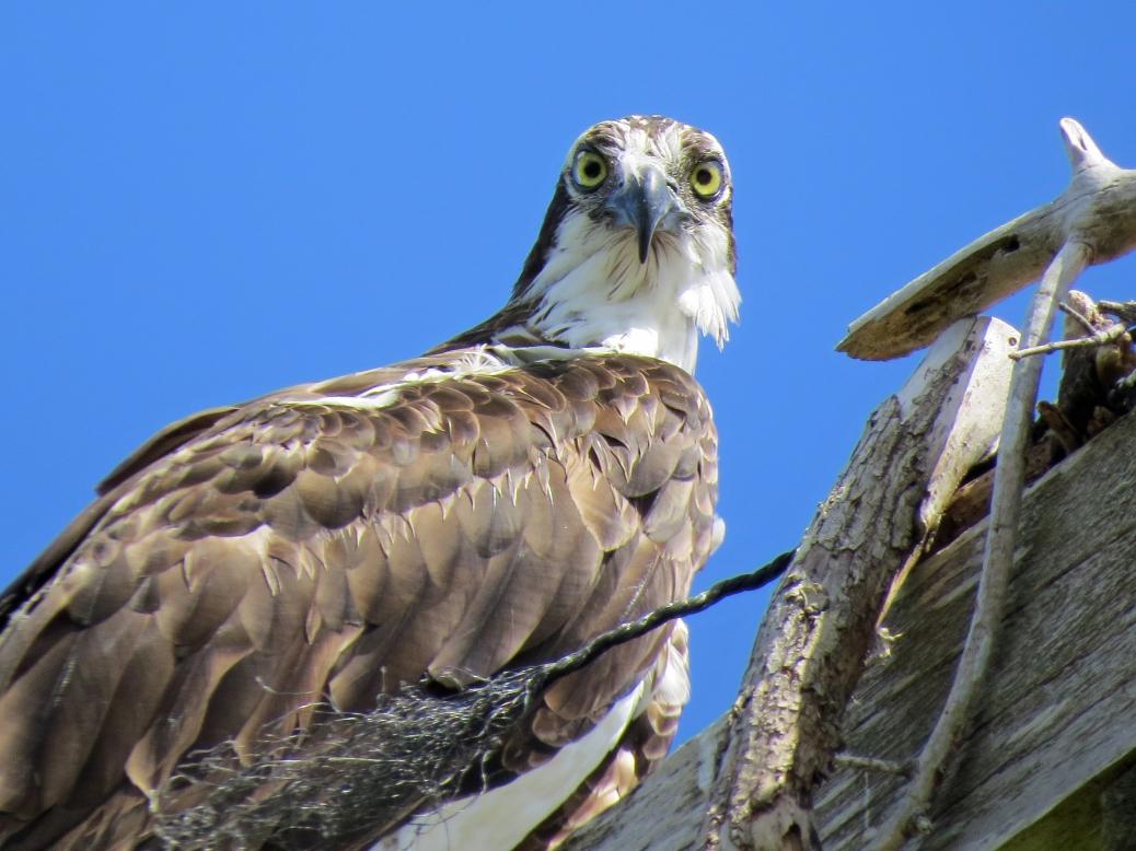 portrait of papa osprey 826