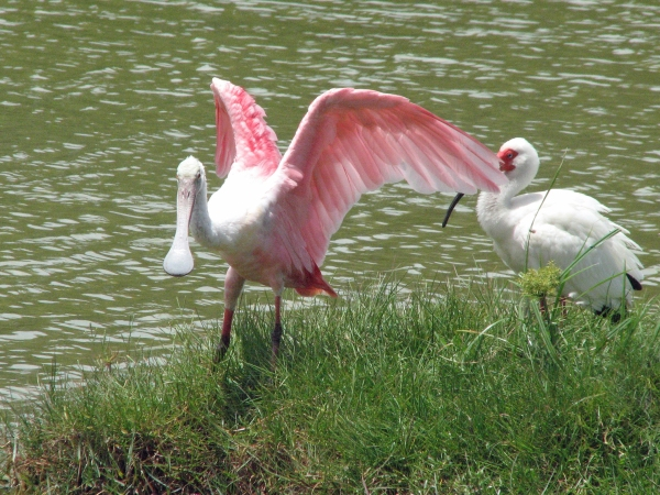 A Roseate Spoonbill lands on a neighboring island...