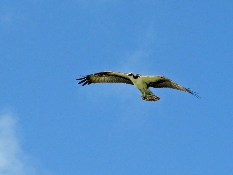 the cause for alarm the other osprey