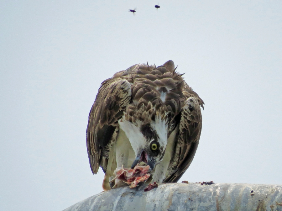 the other osprey eating big fish